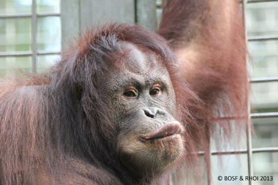 Newborn orangutan with his mother